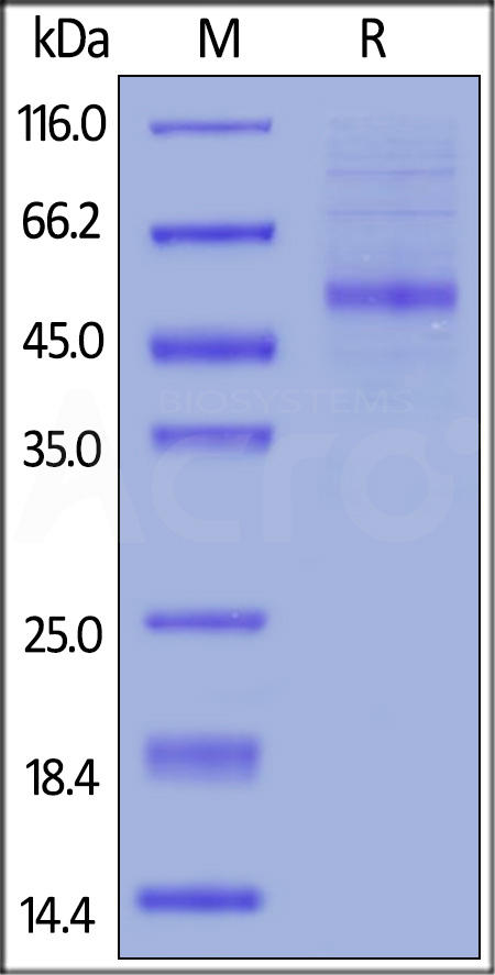 Human OX40 Ligand, Fc Tag (Cat. No. OXL-H526x) SDS-PAGE gel