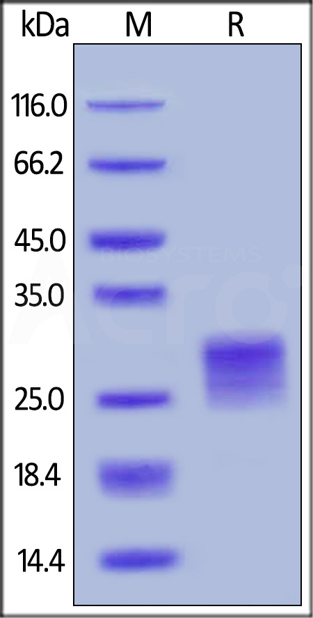 Human OX40 Ligand, His Tag (active trimer) (MALS verified) (Cat. No. OXL-H52Q8) SDS-PAGE gel