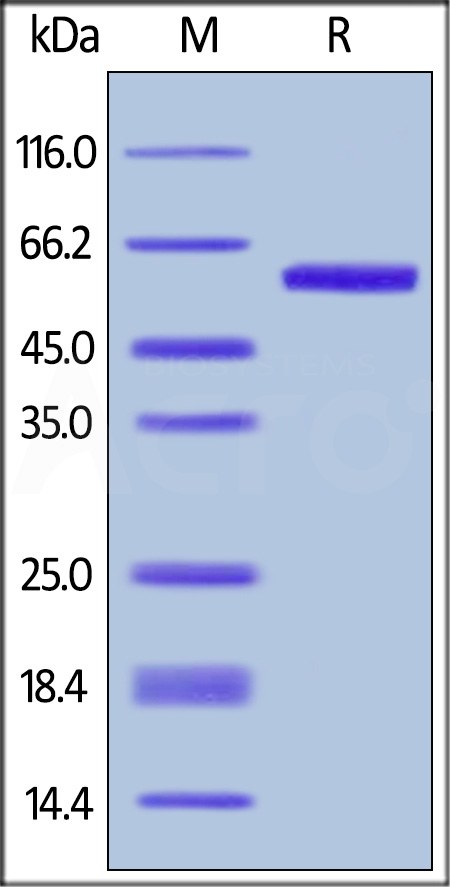 Biotinylated Human OX40 Ligand, Fc Tag, Avi Tag (Cat. No. OXL-H82F4) SDS-PAGE gel