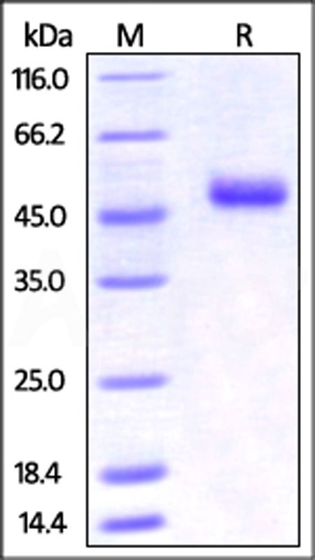 Mouse OX40 Ligand, Fc Tag (Cat. No. OXL-M526x) SDS-PAGE gel