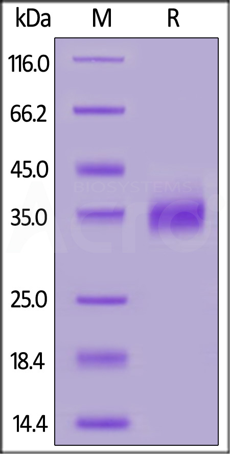 Cynomolgus / Rhesus macaque PD-L1, His Tag (Cat. No. PD1-C52H4) SDS-PAGE gel