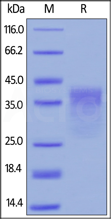 Human PD-1, His Tag (HPLC-verified) (Cat. No. PD1-H5221) SDS-PAGE gel