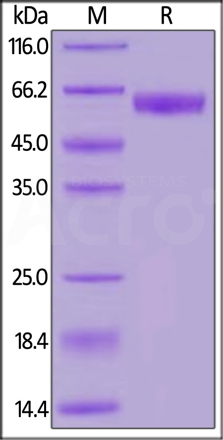 Human PD-1, Fc Tag, low endotoxin (HPLC-verified) (Cat. No. PD1-H5257) SDS-PAGE gel
