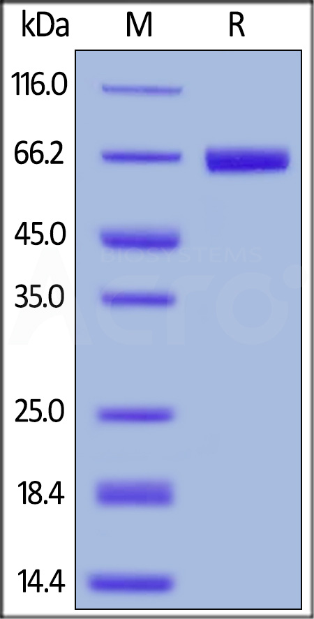 Human PD-L1, Fc Tag (Cat. No. PD1-H5258) SDS-PAGE gel