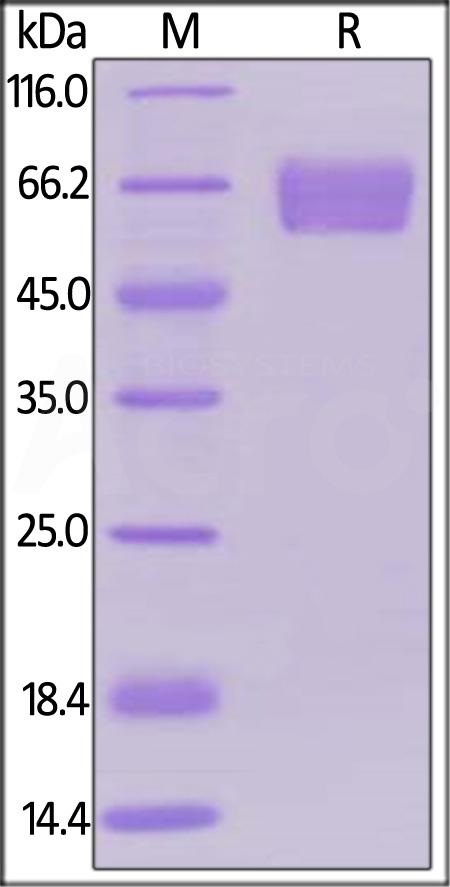 Human PD-1, Llama IgG2b Fc Tag