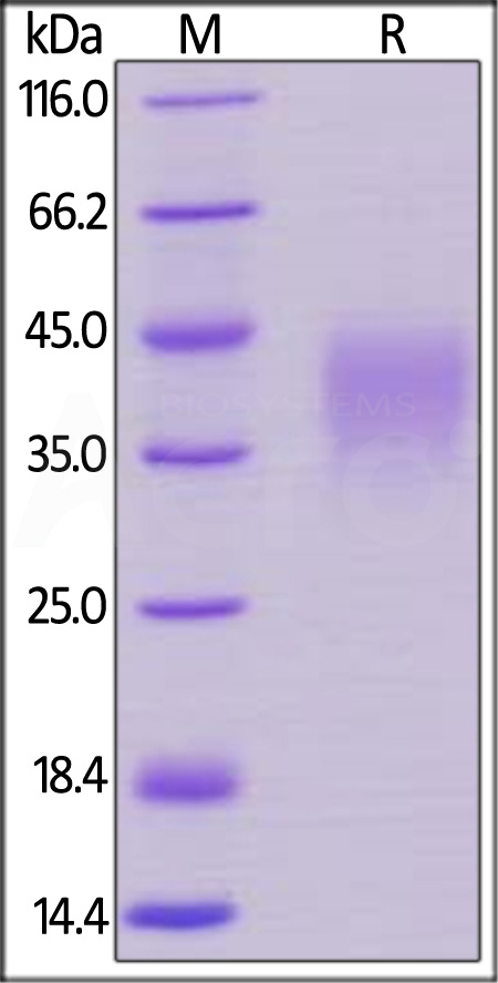 Biotinylated Human PD-1, His Tag (Cat. No. PD1-H82E4) SDS-PAGE gel
