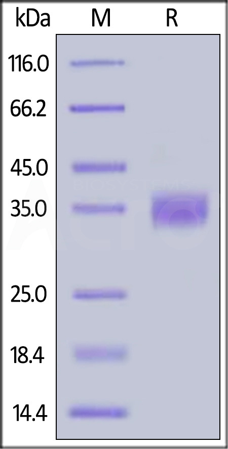 Biotinylated Human PD-L1, Avitag,His Tag (recommended for biopanning) (Cat. No. PD1-H82E5) SDS-PAGE gel