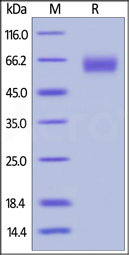 Biotinylated Human PD-1, Fc,Avitag (Cat. No. PD1-H82F1) SDS-PAGE gel
