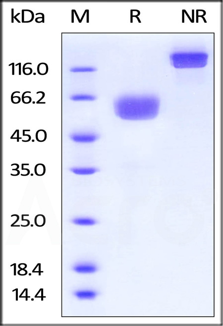 Biotinylated Human PD-1, Fc,Avitag,His Tag (Cat. No. PD1-H82F2) SDS-PAGE gel