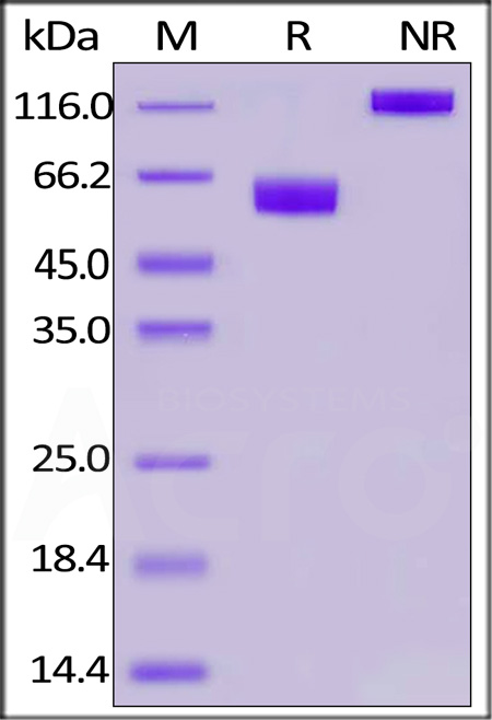 Biotinylated Human PD-1, Fc,Avitag,His Tag (Cat. No. PD1-H82F4) SDS-PAGE gel