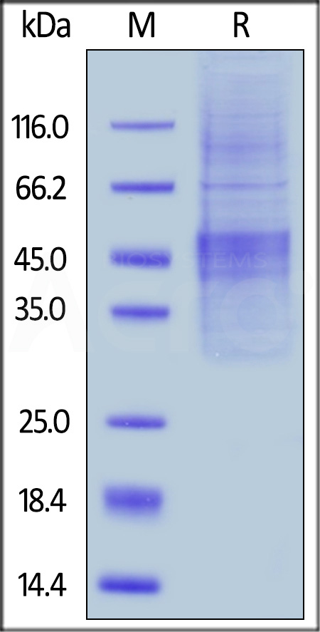 Human PD-1, Tag Free, Full Length (Cat. No. PD1-HC214) SDS-PAGE gel