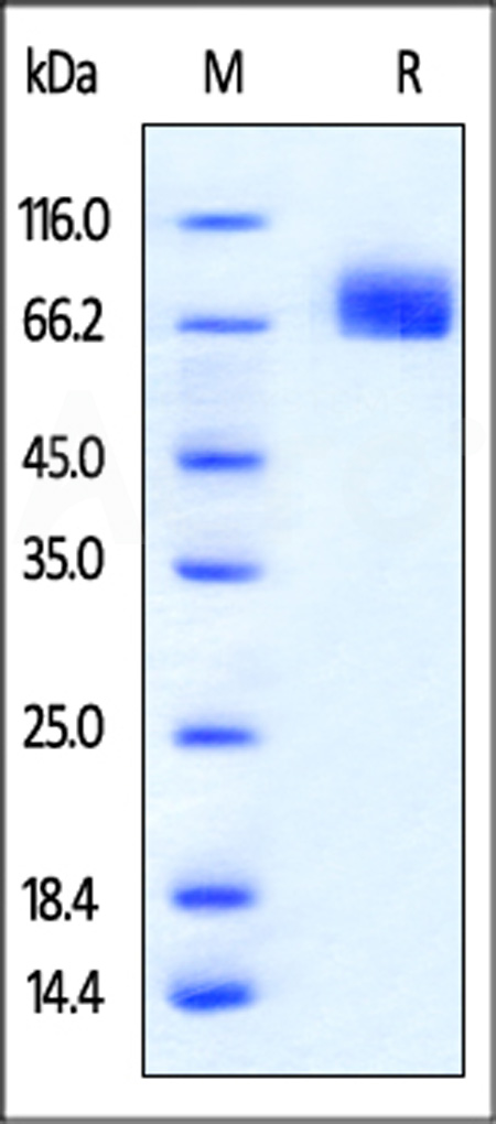 Mouse PD-L1, Mouse IgG2a Fc Tag, low endotoxin (Cat. No. PD1-M52A2) SDS-PAGE gel