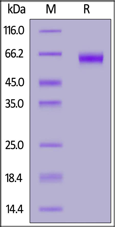 Biotinylated Mouse PD-1, Fc tag (Cat. No. PD1-M82F4) SDS-PAGE gel