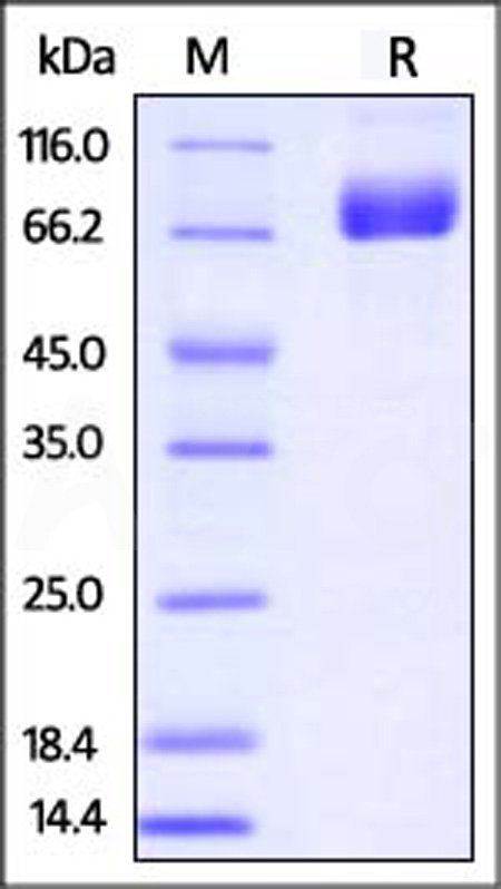 Biotinylated Mouse PD-L1, Fc,Avitag (Cat. No. PD1-M82F5) SDS-PAGE gel