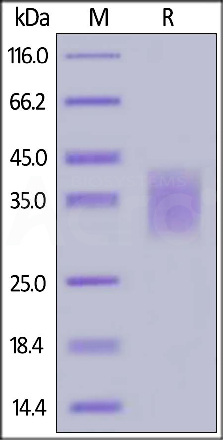 Rat PD-1, His Tag (Cat. No. PD1-R52H2) SDS-PAGE gel