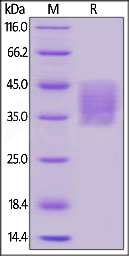 Human PD-L2, His Tag (Cat. No. PD2-H5220) SDS-PAGE gel