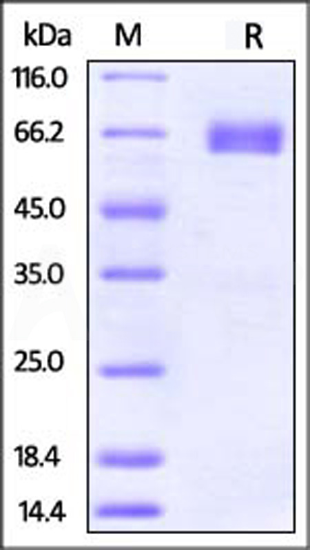 Human PD-L2, Mouse IgG1 Fc Tag (Cat. No. PD2-H52A5) SDS-PAGE gel