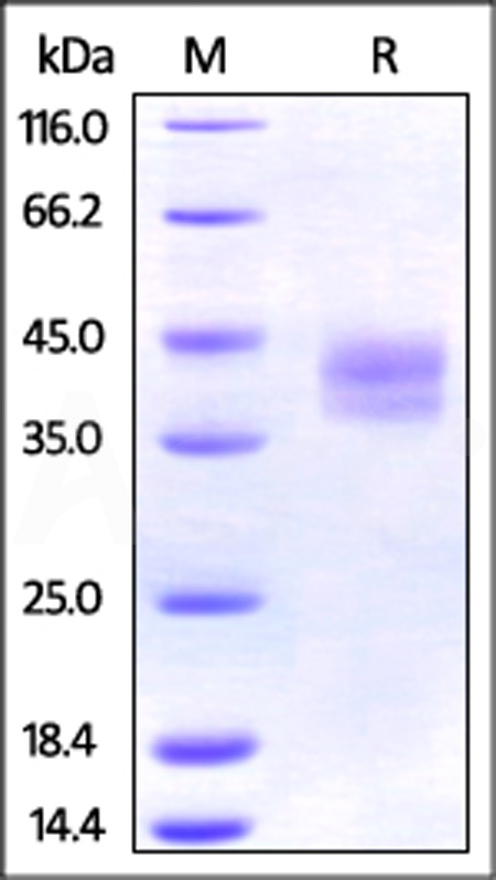 Mouse PD-L2, His Tag (Cat. No. PD2-M52E3) SDS-PAGE gel