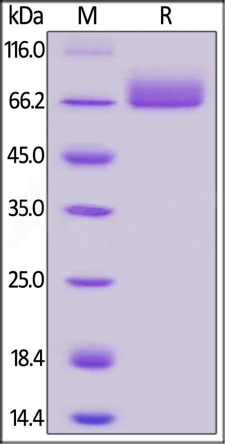 Human PD-L1, Llama IgG2b Fc Tag, low endotoxin (Cat. No. PDL-H5250) SDS-PAGE gel