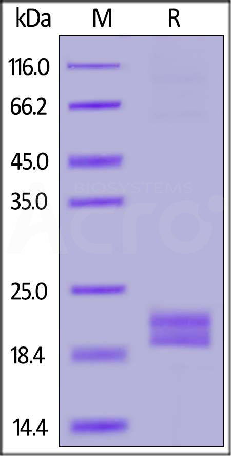 Biotinylated Human PD-L1 (19-134), His,Avitag™ (recommended for biopanning) (Cat. No. PDL-H82E4) SDS-PAGE gel