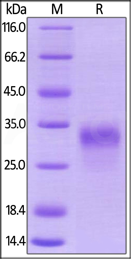 Rhesus macaque PLGF (Cat. No. PGF-R52H0) SDS-PAGE gel