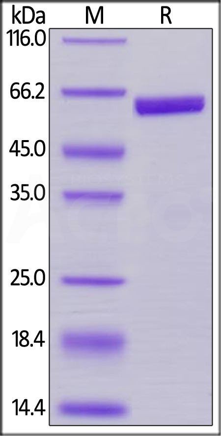 Biotinylated Human Prolactin, Fc,Avitag (Cat. No. PRN-H82F7) SDS-PAGE gel