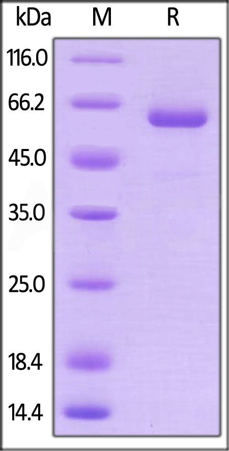 Human Prolactin R, Fc Tag (Cat. No. PRP-H5251) SDS-PAGE gel
