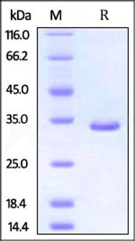 Human PSME3, His Tag (Cat. No. PS3-H5142) SDS-PAGE gel