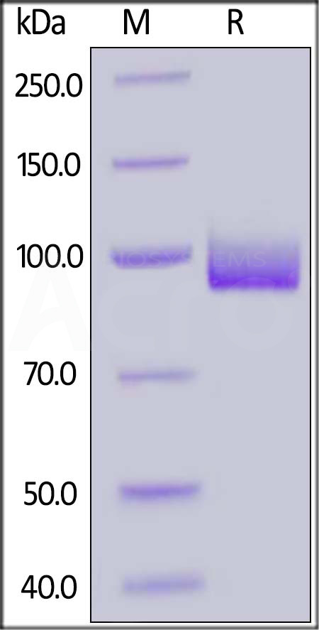Biotinylated Human PSMA, His Tag, Avi Tag (Cat. No. PSA-H82Qb) SDS-PAGE gel