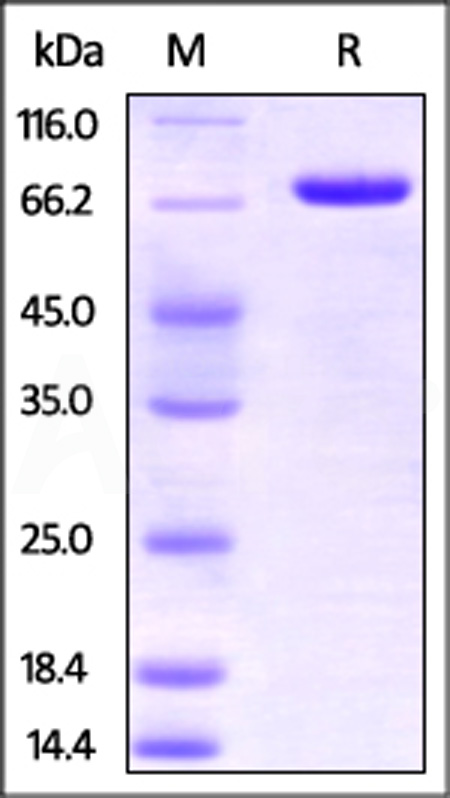 Human Nectin-2, Fc Tag (Cat. No. PV2-H5253) SDS-PAGE gel