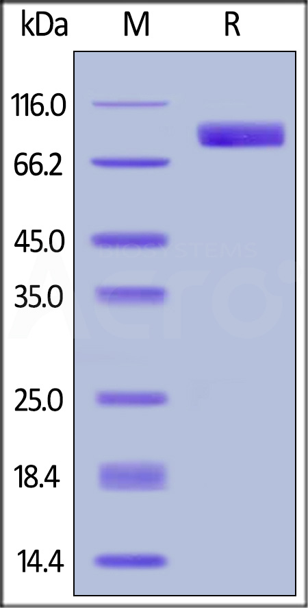 Human Nectin-3, Fc Tag (Cat. No. PV3-H5255) SDS-PAGE gel