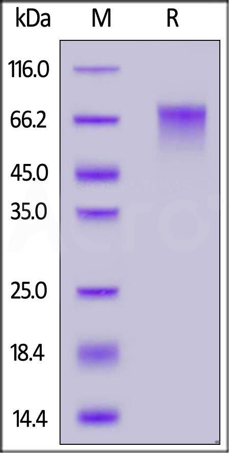 Human Nectin-3, His Tag (Cat. No. PV3-H52E4) SDS-PAGE gel