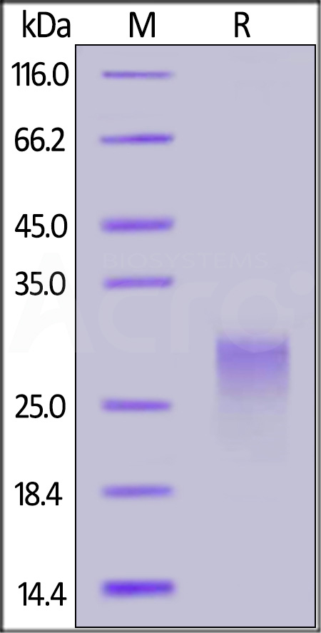 Biotinylated Human PVRIG, His,Avitag (Cat. No. PVG-H82E3) SDS-PAGE gel