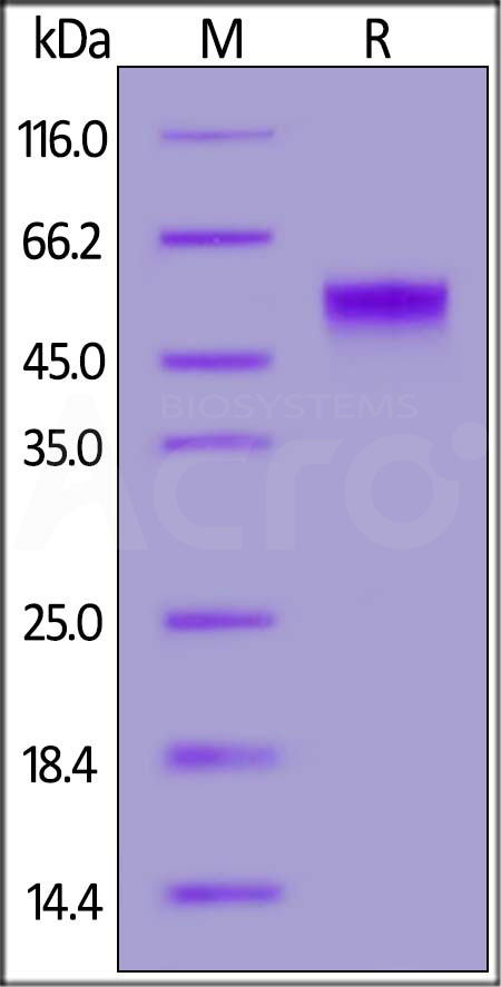 Biotinylated Human PVRIG, Fc,Avitag (Cat. No. PVG-H82F6) SDS-PAGE gel