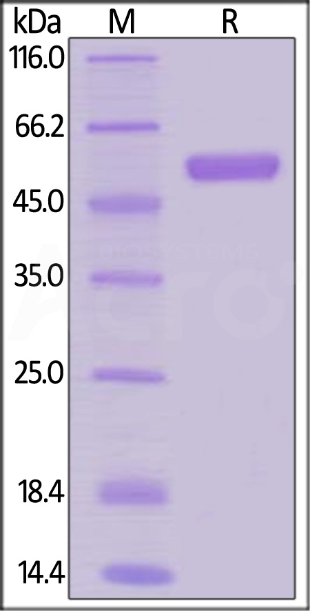 Human RANK, Mouse IgG2a Fc Tag, low endotoxin (Cat. No. RAK-H5251) SDS-PAGE gel