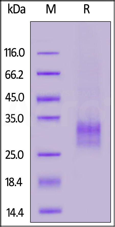 Human TNFSF11, His Tag (Cat. No. RAL-H5240) SDS-PAGE gel