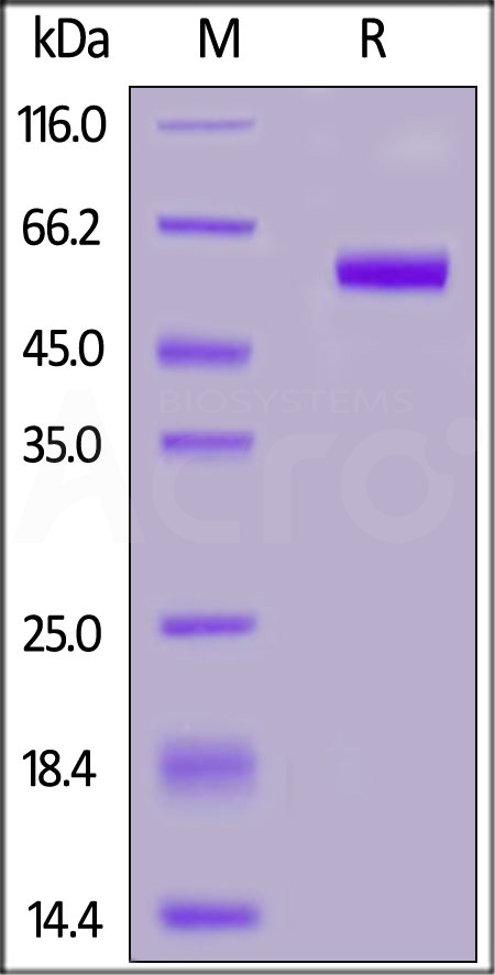 Human TNFSF11, Mouse IgG2a Fc Tag (Cat. No. RAL-H52A6) SDS-PAGE gel