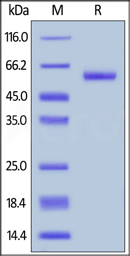 Biotinylated Human TNFSF11, Avitag,Fc Tag (Cat. No. RAL-H82F9) SDS-PAGE gel