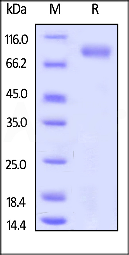 Human ROR1, Fc Tag (Cat. No. RO1-H5250) SDS-PAGE gel