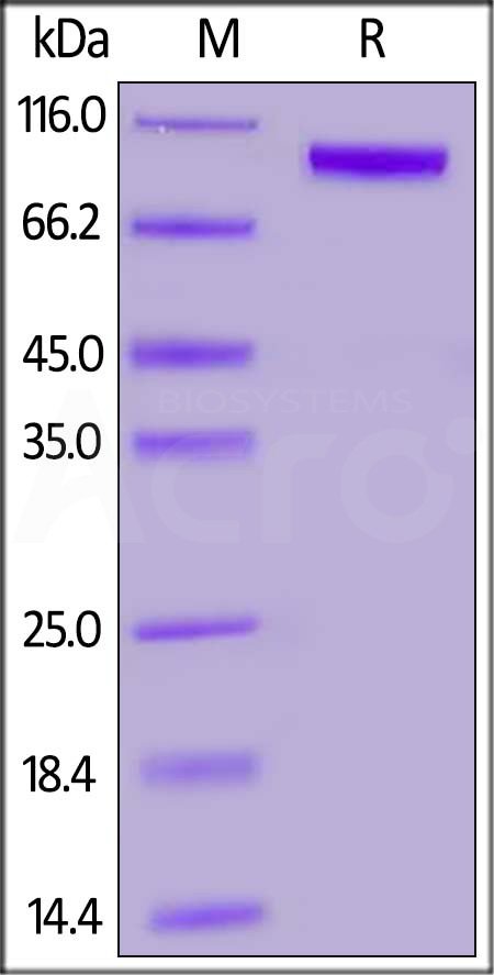 Biotinylated Human ROR1, Fc Tag (Cat. No. RO1-H82F4) SDS-PAGE gel
