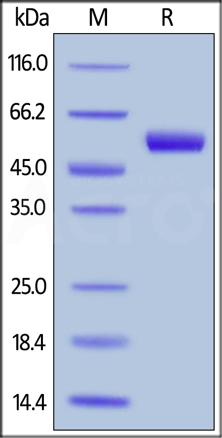 Biotinylated Protein L, Superior Sensitivity (Cat. No. RPL-P814R) SDS-PAGE gel