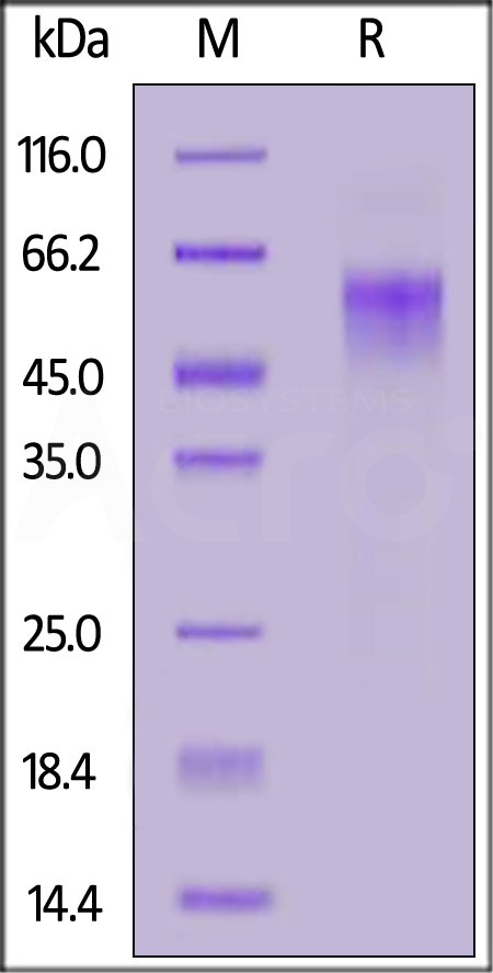 SARS-CoV-2 S1 protein NTD (A222V), His Tag (Cat. No. S1D-C52H8) SDS-PAGE gel