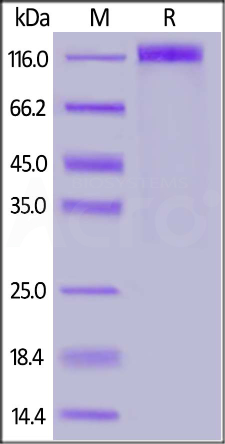 SARS-CoV-2 S1 protein, Mouse IgG2a Fc Tag (Cat. No. S1N-C5257) SDS-PAGE gel