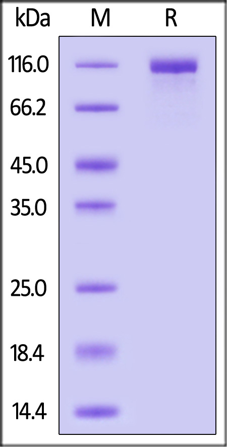 SARS-CoV-2 S1 protein, His Tag (Cat. No. S1N-C52H3) SDS-PAGE gel