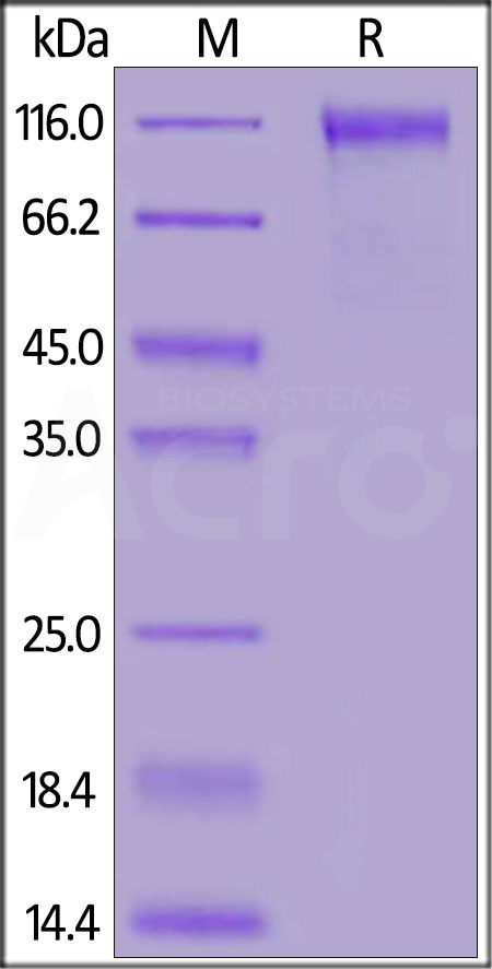 Biotinylated SARS-CoV-2 S1 protein (D614G), His,Avitag™ (Cat. No. S1N-C82E3) SDS-PAGE gel
