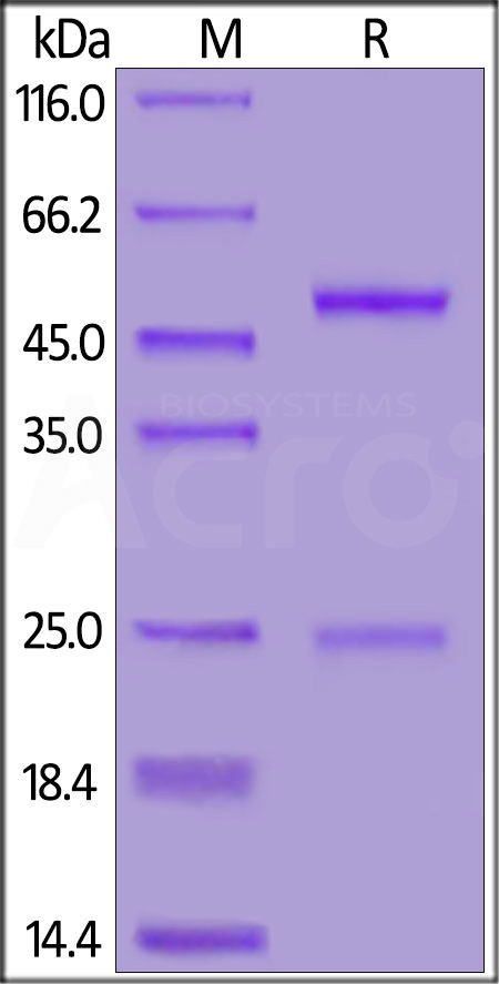 Anti-SARS-CoV-2 Spike S1 Antibody, Mouse IgG1 (Cat. No. S1N-S58) SDS-PAGE gel