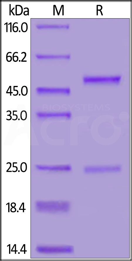 Anti-SARS-CoV-2 Spike S1 Antibody, Mouse IgG1 (Cat. No. S1N-S59) SDS-PAGE gel
