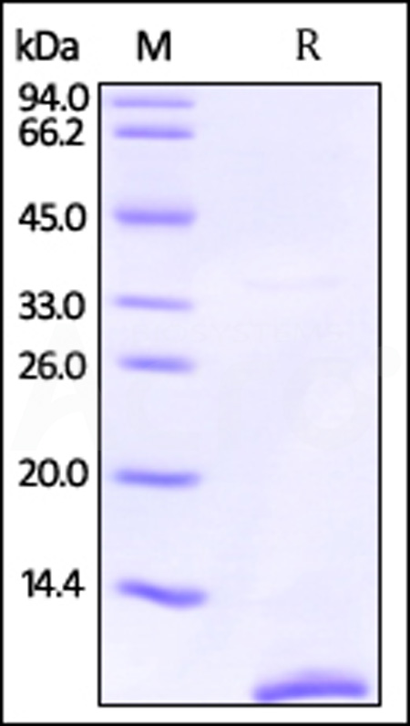 Human S100P, Tag Free (Cat. No. S1P-H5110) SDS-PAGE gel