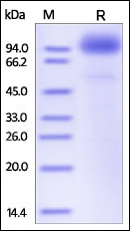 Human SCARB2, Fc Tag (Cat. No. SC2-H5250) SDS-PAGE gel