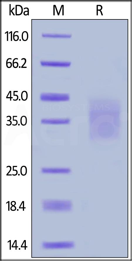 Human SCF /KITLG Protein,HEK293 expressed,ActiveMax ...